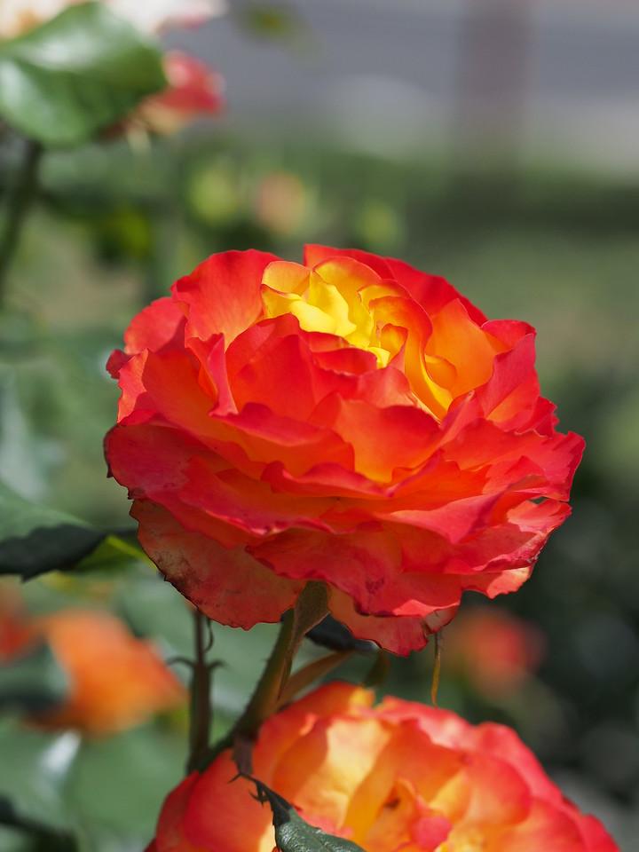 20141129_1025_0469 rose
