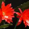 201441117_0845_9898 epiphyllum