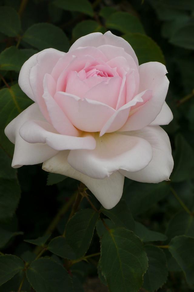 20141104_1329_9354 rose
