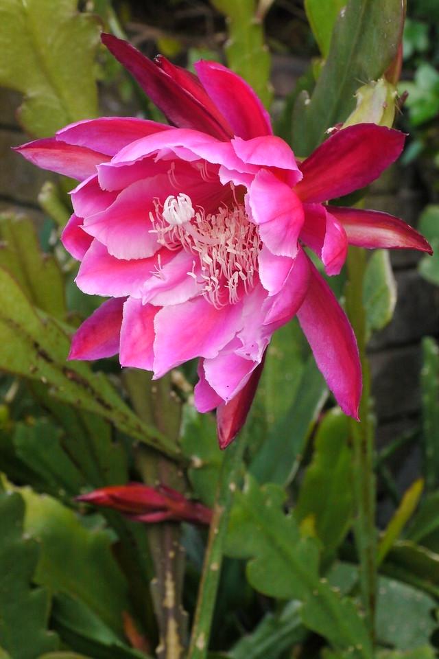 20141111_0638_9575 epiphyllum