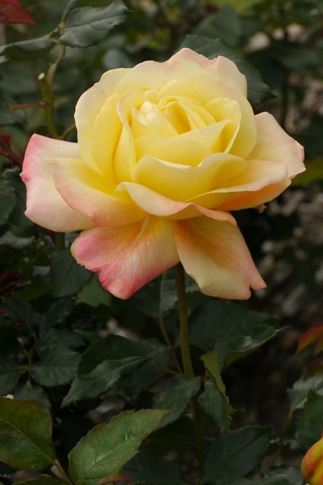20141104_1312_9336 rose