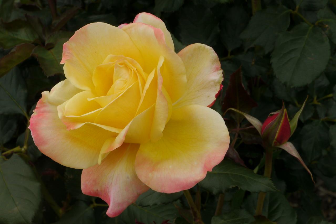 20141104_1334_9358 rose (Morwell Rose Garden)