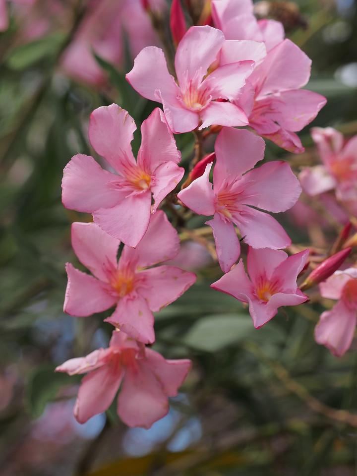 20141127_0925_0429 oleander