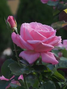 20150430_1028_1269 rose