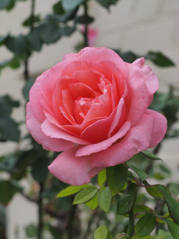 20150417_0816_1258 rose