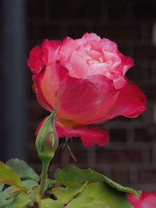 20150414_1052_1252 rose
