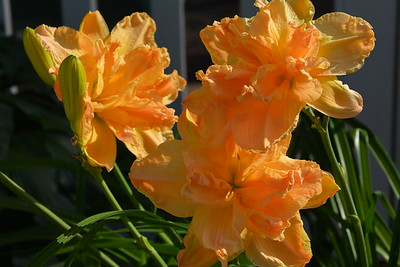 Luxury Madness daylilies