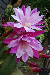20151031_1831_0364 epiphyllum