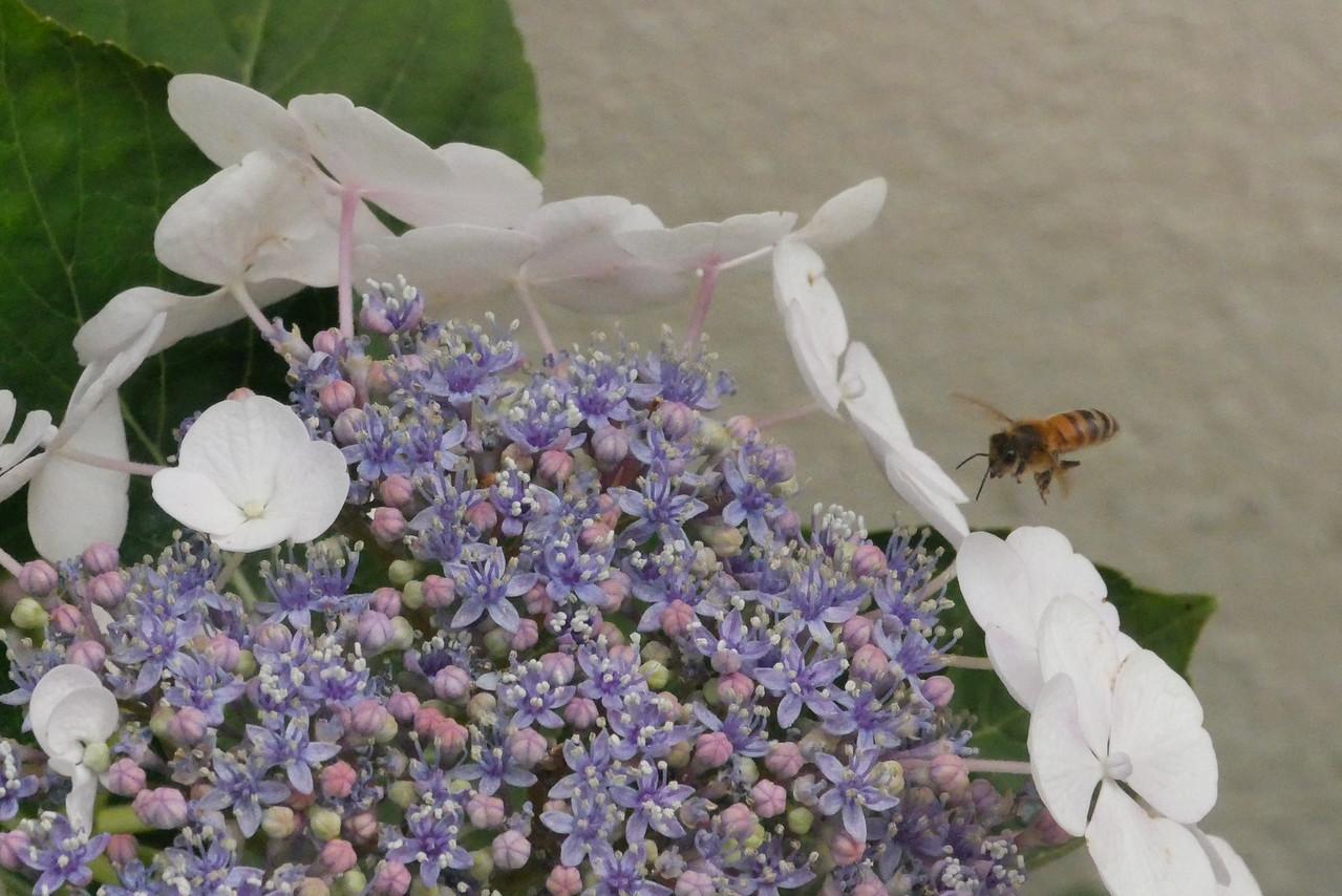 20151123_1002_2040 hydrangea and bee