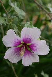 20151023_1300_0327 hibiscus
