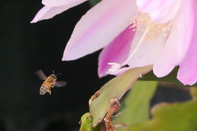 20151108_1034_0450 bee and epiphyllum