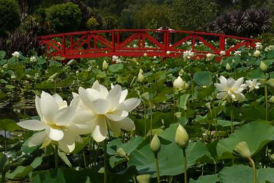 20150124_1401_2228 Blue Lotus Watergardens