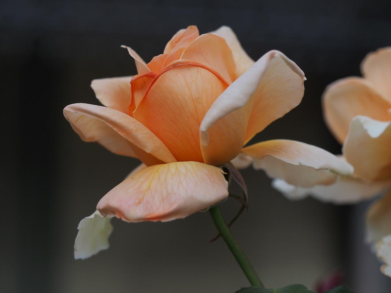 20150120_1904_0983 rose