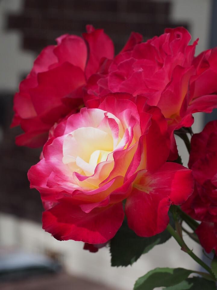 20150120_1101_0981 roses