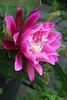 20150215_0652_2450 epiphyllum