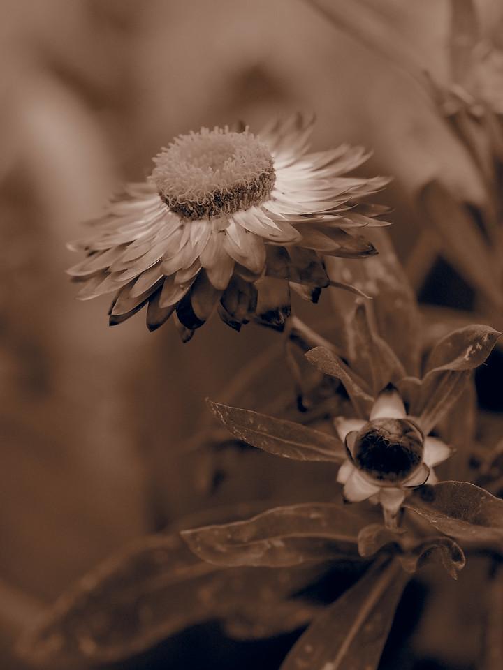 20150104_2032_0885 everlasting daisy