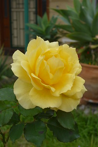20160726_1334_0234 rose