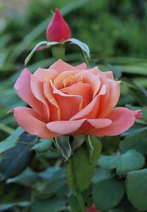 20160325_1740_2271 rose (Tuscan sun)