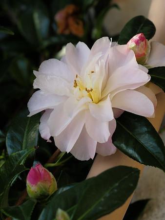 20160703_1714_2523 camellia