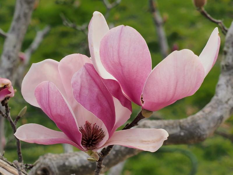 20160806_1705_2531 magnolia