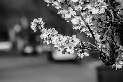 Peach Blossoms. Black Avenue - Pleasanton, CA, USA