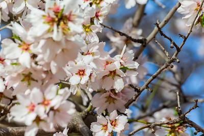 Peach Blossoms. Pleasanton, CA, USA