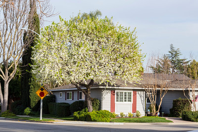 Callery Pear Blossoms (Pyrus calleryana). Black Avenue - Pleasanton, CA, USA