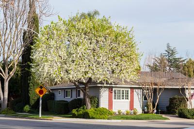 Callery Pear Blossoms (Pyrus calleryana). Black Avenue - Pleasanton, CA, USA