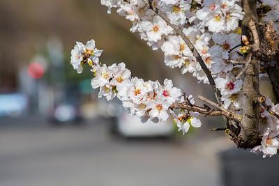 Peach Blossoms. Black Avenue - Pleasanton, CA, USA
