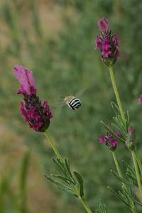 20160101_1822_1950 blue-banded bee (Amegilla cingulata) and butterfly lavender (lavandula pedunculata)