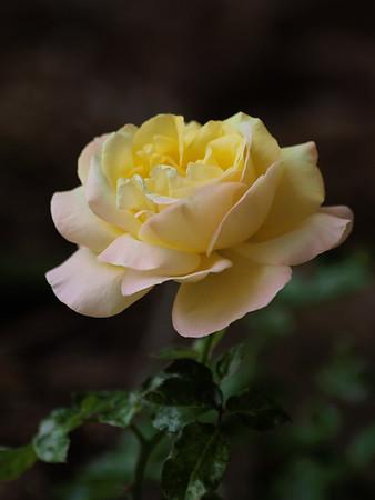 20160218_1227_2269 rose