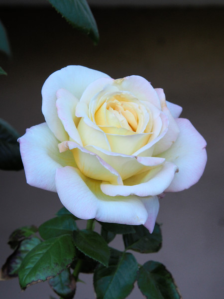 20180311_0750_0315 rose