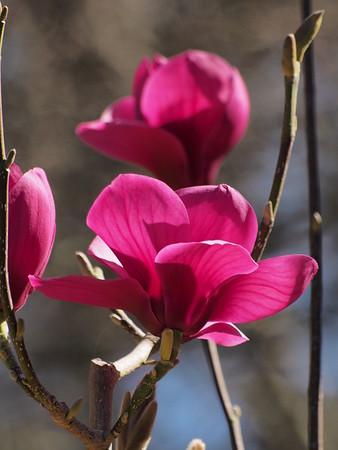 20180913_1152_0544 magnolias