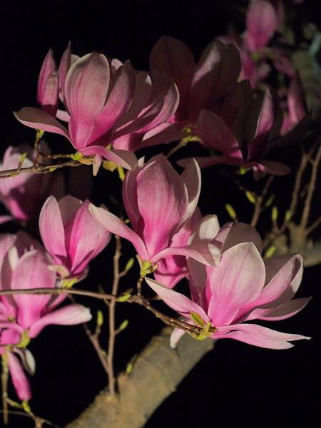 20180825_2001_0520 magnolias