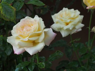 20190124_0816_0575 roses