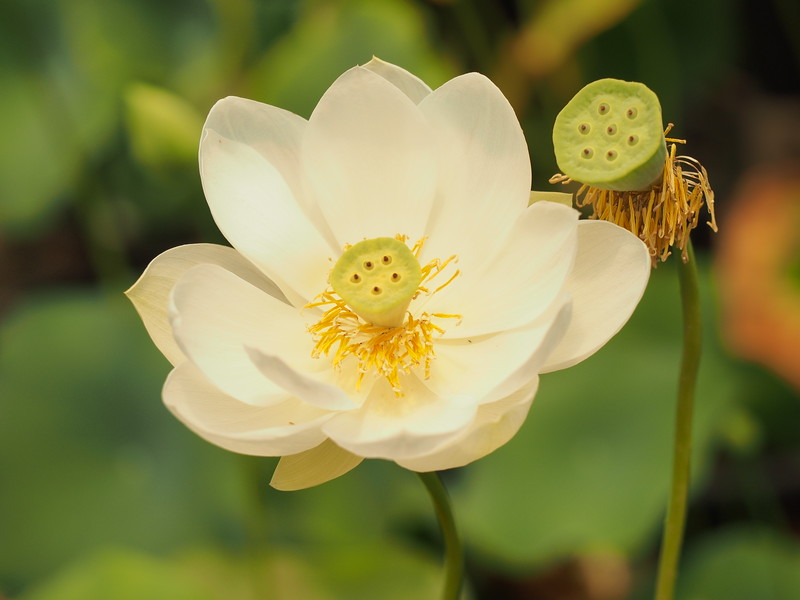 20190113_1337_0572 lotus