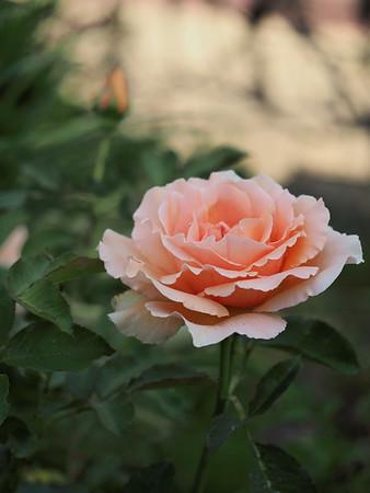 20181227_0741_0566 rose