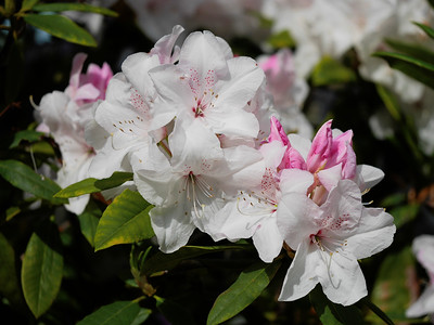 20181117_0807_5170 rhododendrons