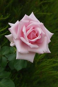 20171230_1659_0376 rose