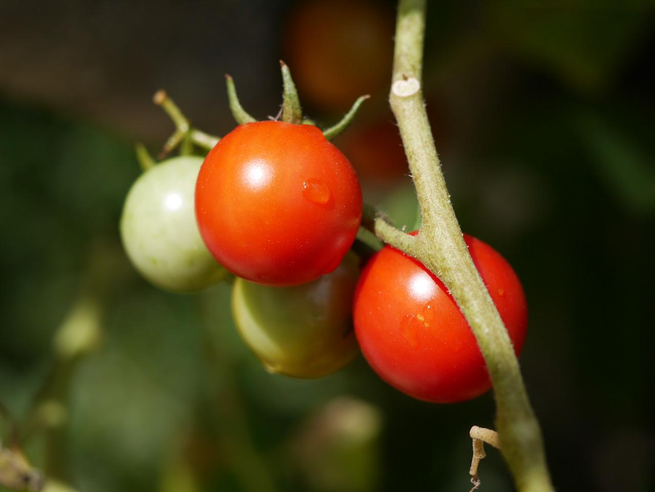 20180216_1028_5010 cherry tomato