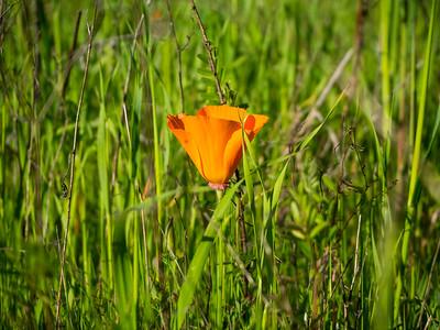 California Poppy (Eschscholzia californica). Near Stream Trail. Redwood Regional Park. Oakland, CA, USA
