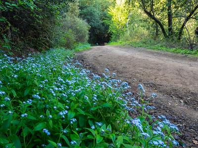Forget-Me-Not (Myosotis latifolia). Stream Trail. Redwood Regional Park. Oakland, CA, USA