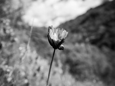 Blue Dicks (Dichelostemma capitatum). Near Ohlone Road. Sunol Regional Wilderness. Sunol, CA, USA