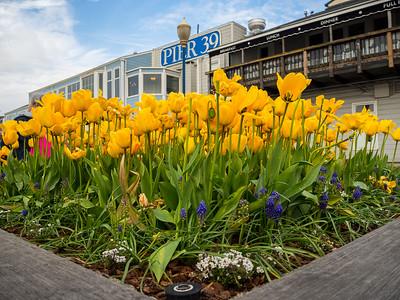 Grape Hyacinths, Tulips, and Flowers. Pier 39. San Francisco, CA USA