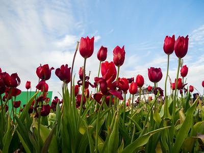 Tulips. Pier 39. San Francisco, CA USA