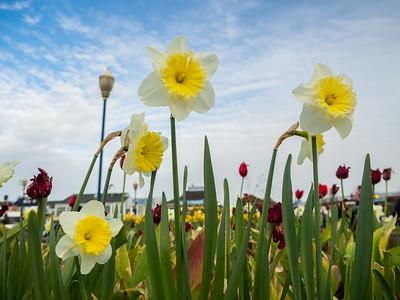 Daffodils & Tulips. Pier 39. San Francisco, CA USA