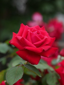 20210128_1635_0391 rose