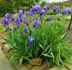 5/4/2018 Backyard Flowers