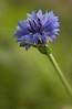 Bachelor's Button  (Centaurea cyanus)  - our backyard, Quakertown, PA