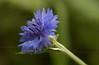 Bachelor's Button  (Centaurea cyanus)  - our backyard, Quakertown, PA  - 9/03/2011